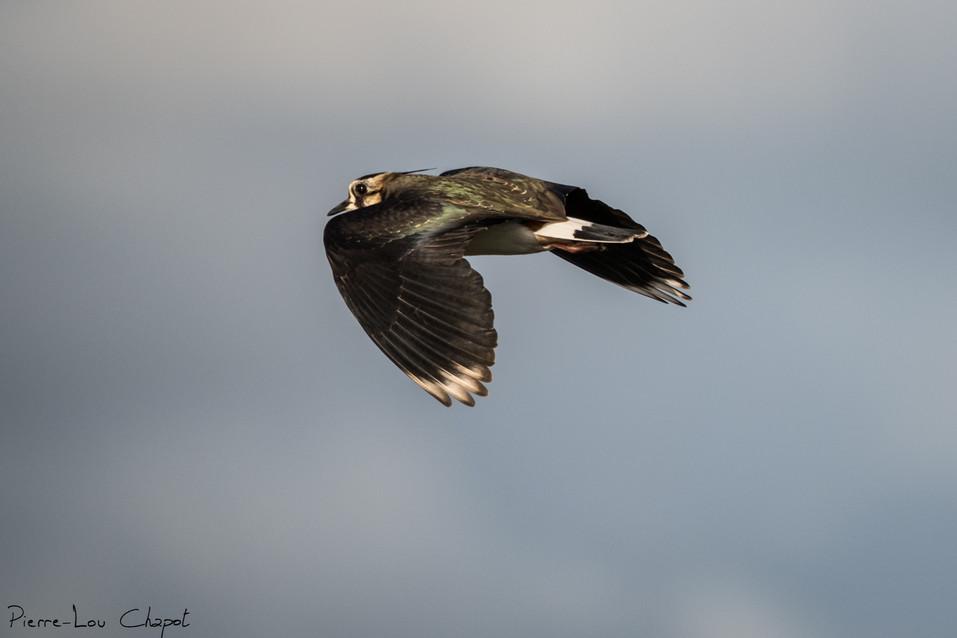 Vanneau huppé - Vanellus vanellus
