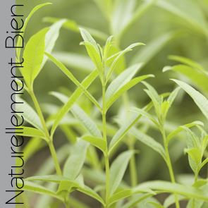 Verveine Odorante Bio - NN0079