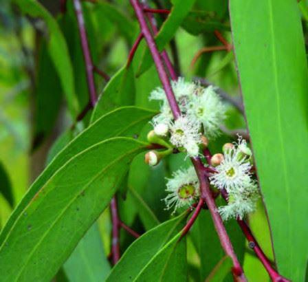 HE d'Eucalyptus Radiata Bio - NA0143