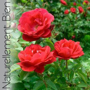 Rose Pâle du Maroc Bio - NN0072