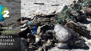 Más de 300 tortugas mueren atrapadas en redes prohibidas para pesca del pez ojotón en Oaxaca