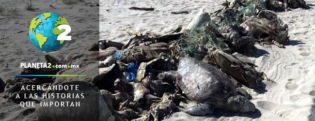 300 tortugas mueren atrapadas en redes prohibidas para pesca del pez en Oaxaca