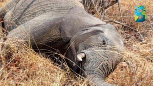 Bacteria causó la muerte de los trescientos elefantes en Botsuana