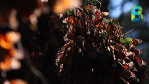Alternare, ONG que protege el área de hibernación de la mariposa monarca, gana premio Luis Elizondo