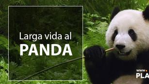 El panda ya no es un especie en peligro de extinción
