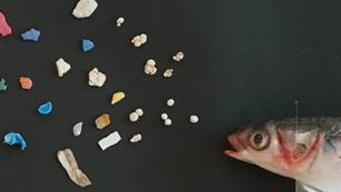 Peces plásticos: encuentran plástico en 1 de cada 5 pescados de México