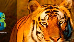 Cambio climático puede acabar con los tigres de Bengala: ONU