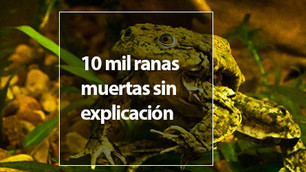 10 mil ranas en peligro de extinción aparecieron muertas en Perú