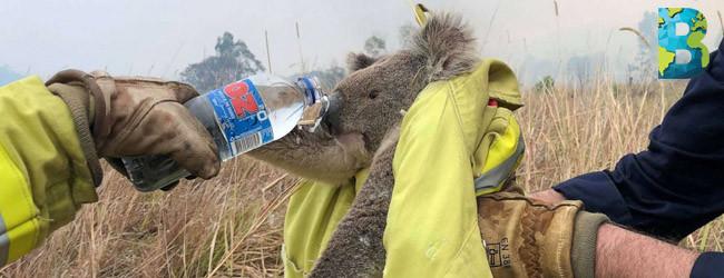 80% del hábitat de los koalas en Australia destruidos por incendios forestales