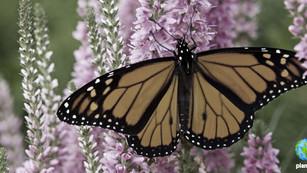 Llegaron las mariposas monarcas