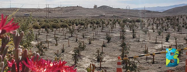 reforestan desierto de atacama