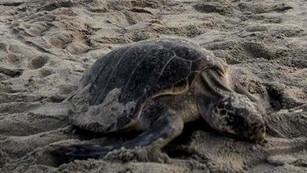 Semar recolecta 5 mil huevos de tortuga golfina para su anidación y liberación
