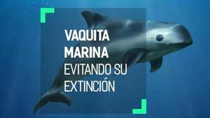 Con 30 ejemplares vivos, la vaquita marina podría extinguirse en el 2018. DiCaprio se suma su protec