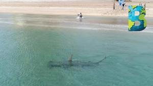 Tiburón martillo gigante en 'modo' caza sorprende en playa de Florida