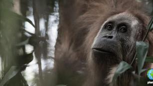 Descubren nueva especie de orangután y ya se encuentra en peligro de extinción