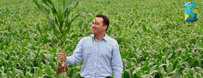 Maíz híbrido: tecnología mexicana revoluciona el cultivo de maíz, bayer
