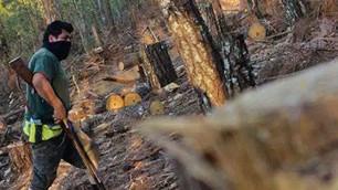 Diputados aprueban penas de hasta 14 años de prisión por tala ilegal