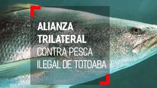 México, China y EU crean alianza contra el tráfico ilegal de totoaba