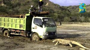 Dragones de Komodo en riesgo por construcción de parque turístico Jurassic Park