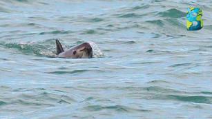 Crean Área Tolerancia Cero para cuidar a la vaquita marina… ¿ahora sí se contendrá la pesca ilegal?
