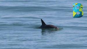 Día de la Vaquita Marina: con menos de 10 ejemplares, la vaquita enfrenta una inminente extinción