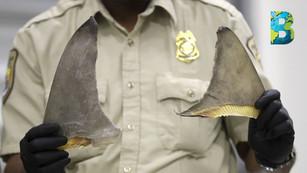 Red criminal que traficaba con aletas de tiburón es desmentalada
