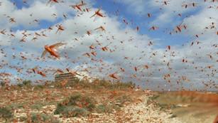 Plaga de langostas destruyen cultivos en el Cuerno de África