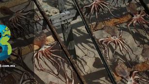 Criar pulpo como 'ganado' incurre en riesgos ambientales y éticos