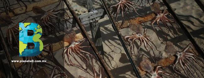 granja de pulpos perjudicial para el medio ambiente
