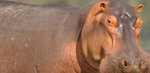 La demanda del marfil ha dejado sin dientes a los hipopótamos, amenazándolos con la extinción