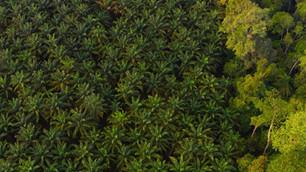 Indonesia suspende permanentemente la tala de nuevos bosques para plantaciones de palma
