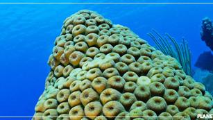 Se crea el primer coral genéticamente modificado para ayudar a salvar los arrecifes