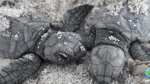 Protegen más de 6 mil nidos de tortuga y liberan casi 193 mil en Quintana Roo