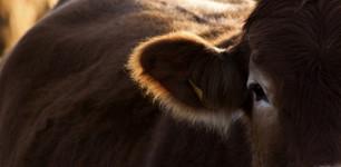 Las emisiones de metano del sector ganadero son 11% más elevadas de lo que se pensaba