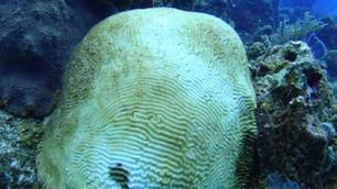 Arrecifes de México y Belice infectados por Síndrome Blanco