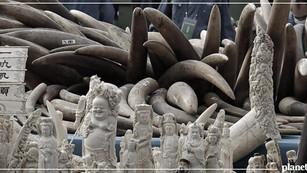 Entra en vigor prohibición de venta de marfil en China