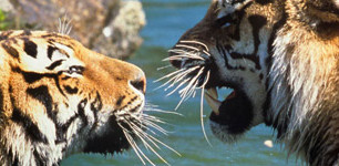 Kazajstán se vuelve más silvestre al reintroducir tigres silvestres después de 70 años de ausencia