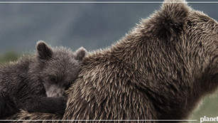 Prohiben caza de osos en British Columbia
