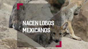Lobo Mexicano: con grandes esperanzas de salvarse de la extinción
