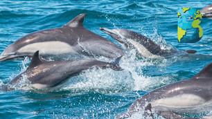 'Estampida' de delfines muestra un incremento de delfines bebés en Dana Point