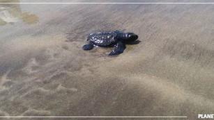 Playa en Mumbai pasa de ser un basurero a un criadero de tortugas en dos años