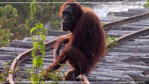 Borneo, la gran isla que perdió 100 mil orangutanes en menos de dos décadas