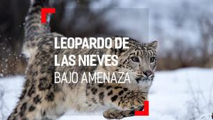Leopardo de las Nieves: en espera de evitar la extinción