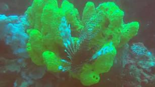 Científicos descubren corredor de arrecifes de coral de 500 kilómetros en el Golfo de México