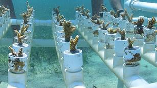 Quintana Roo inicia siembra masiva de coral para rescatar el Sistema Arrecifal Mesoamericano