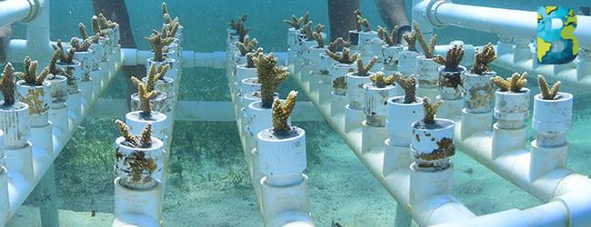 Quintana Roo inicia siembra masiva de arrecifes de coral