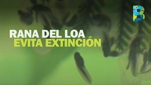 Ranas del Loa evitan extinción: Zoológico Nacional de Chile logra reproducir 200 ejemplares