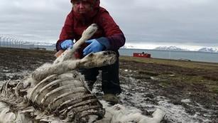200 renos mueren de hambre debido a crisis climática en el Ártico