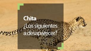 Chita, el animal terrestre más veloz cerca de estar en peligro de extinción
