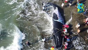37 voluntarios rescatan a una ballena jorobada...se restauran la fe en la humanidad… un poco